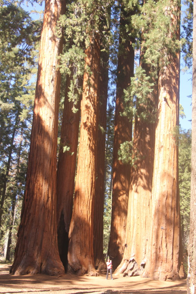 Parkers group of sequoias