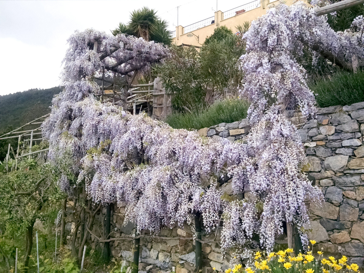 Lavendar bush along the trail of Borgo di Campi Hotel outside of Riomaggiore in Cinque Terre Italy