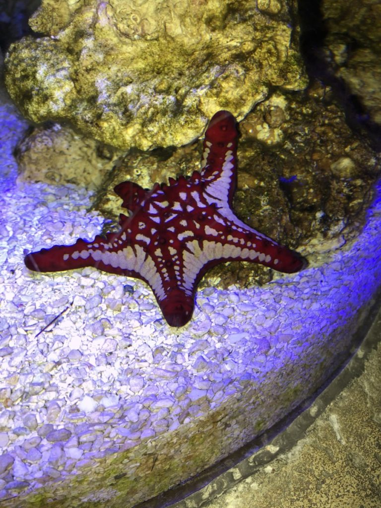 White and Red Sea Star at Sea Life Aquarium at the Mall of America in Minneapolis