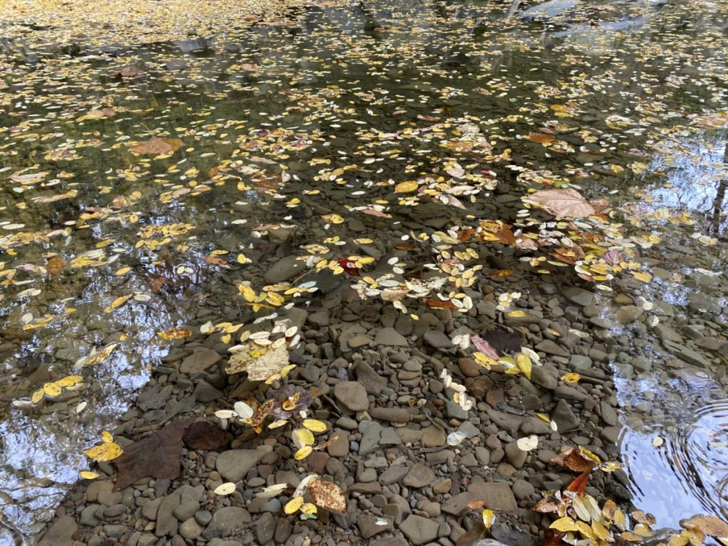 Yellow leaves floating on the river under Everett Covered Bridge in Cuyahoga Valley National Park