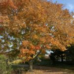 Giant Tree with Yellow and orange leaves at the Holden Arboretum