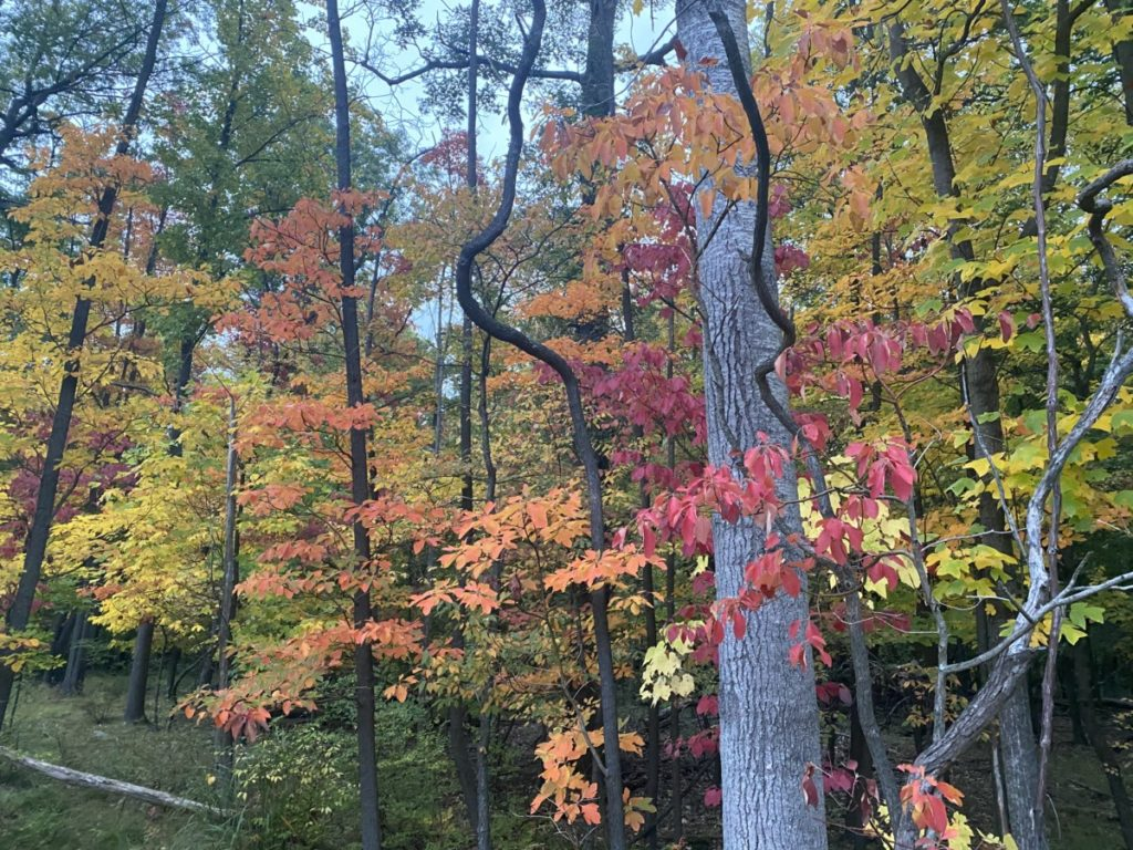 Red, orange, yellow and green leaves on tree on the hemlock trail in Cuyahoga Valley National Park